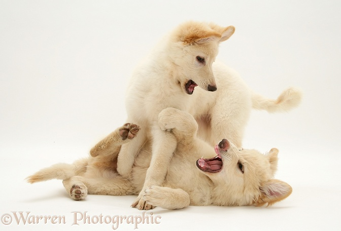 White German Shepherd Dog pups play fighting, white background