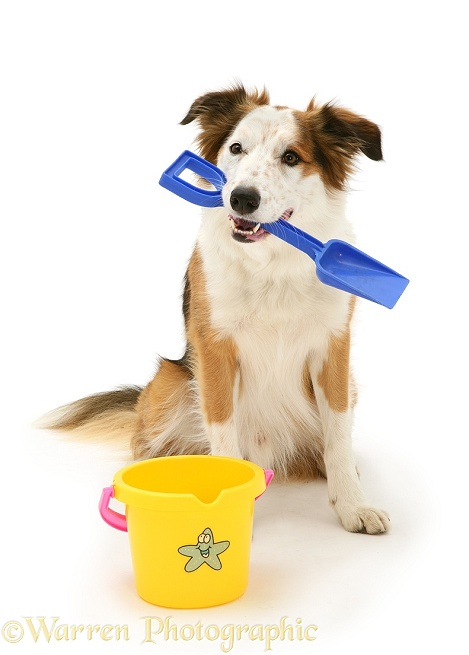 White-faced Border Collie dog, Bovva, with child's bucket and spade, white background
