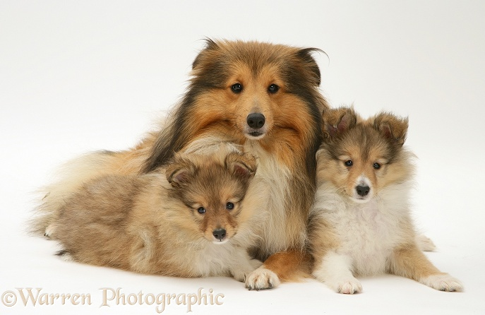 Sable Shetland Sheepdog bitch and two pups, white background