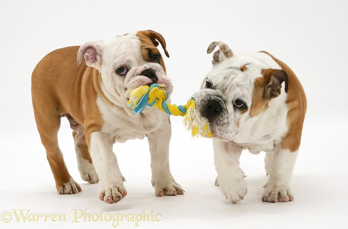 Two Bulldog pups carrying a ragger, white background