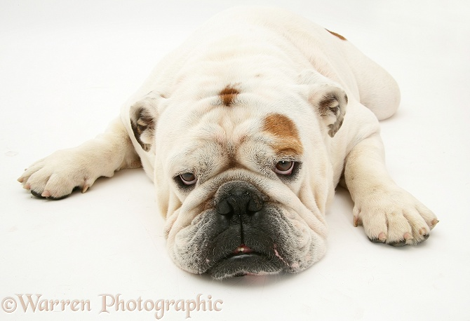 White Bulldog lying, chin on floor, white background