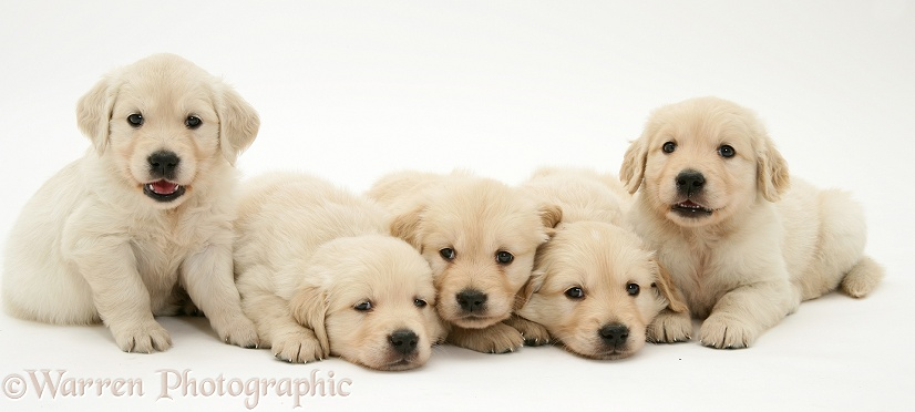 Five Golden Retriever puppies, 4 weeks old, white background