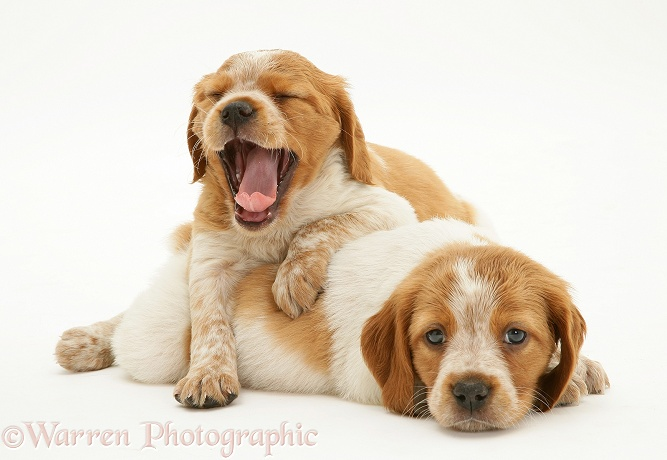 Sleepy Brittany Spaniel pups, 6 weeks old, white background