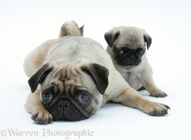 Fawn Pug bitch lying, chin on floor, with a pup, white background