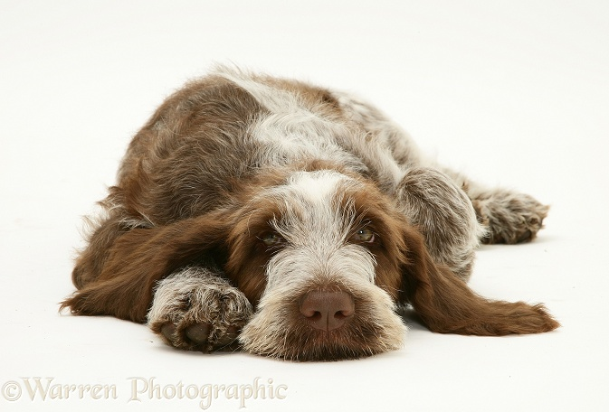 Brown Roan Spinone pup, Wilson, 12 weeks old, lying with chin on the floor, white background