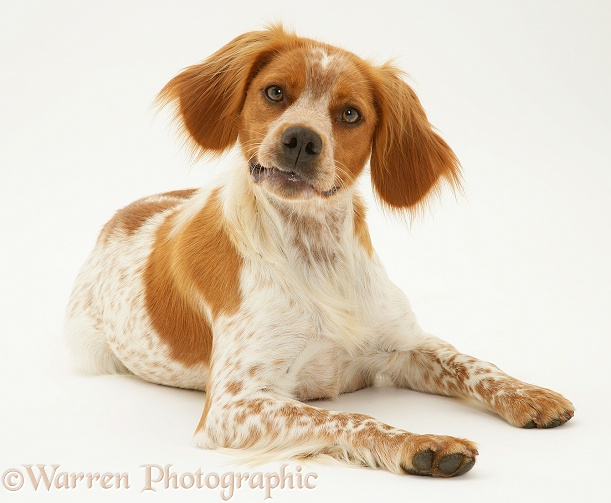 Brittany Spaniel bitch lying, head up, white background