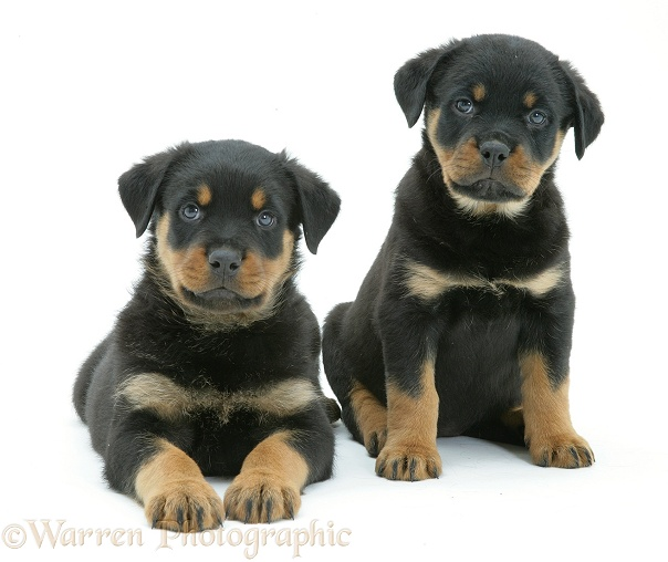 Two Rottweiler pups, 8 weeks old, white background
