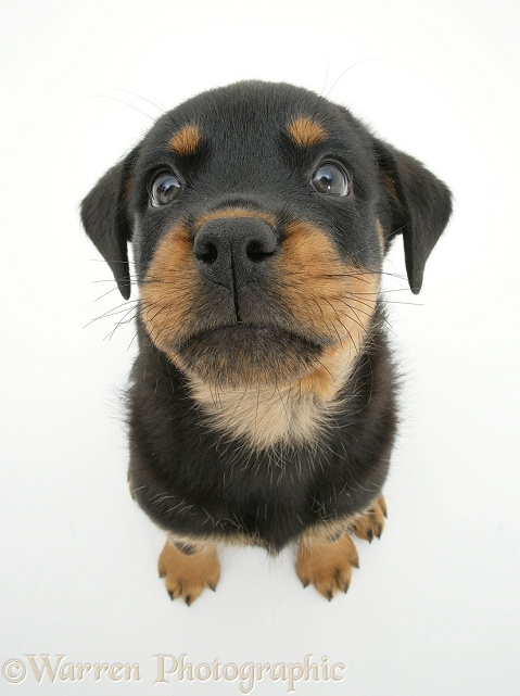 Rottweiler pup, 8 weeks old, from above, white background