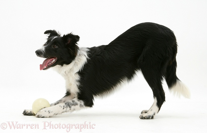Border Collie bitch, Codie, inviting play, white background
