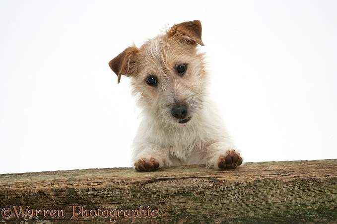 Jack Russell Terrier bitch with paws up, looking over a rail, white background