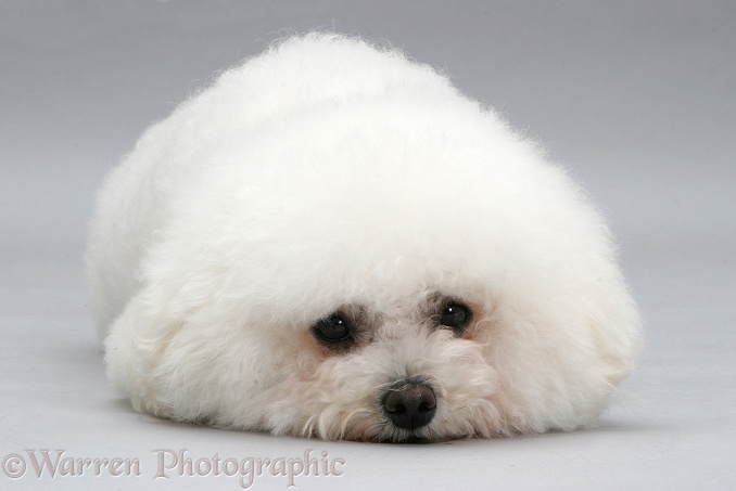 Bichon Frise lying, chin on floor