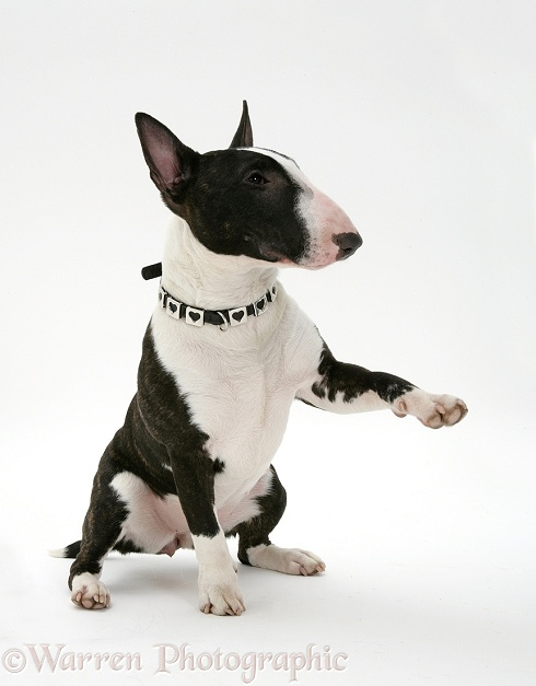 English Bull Terrier sitting, giving a paw, white background
