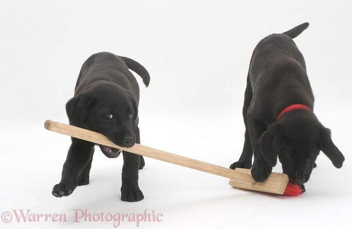 Dogs Two Black Labrador Pups Playing With A Child S Broom