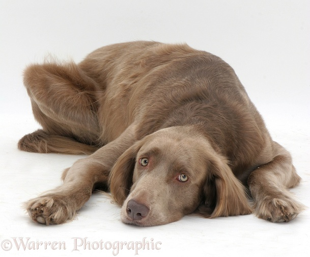 Long-haired Weimaraner dog, Max, lying with chin on floor, white background