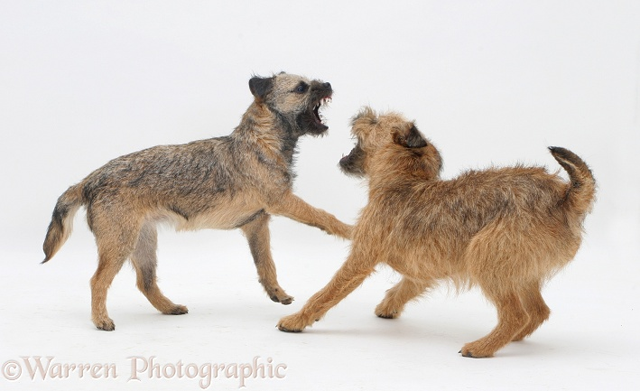 Border Terrier bitch play-fighting with her grown up pup, white background