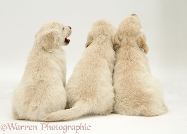 Three Golden Retriever pups sitting, back view, white background