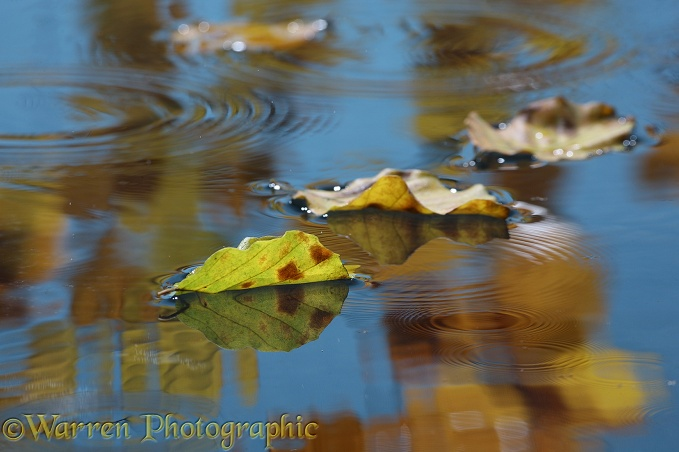 Autumn reflections with drip rings and floating leaves