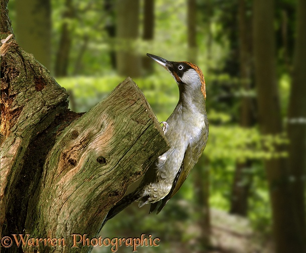 Green Woodpecker (Picus viridis) male perched on a dead oak stump.  Europe, Asia