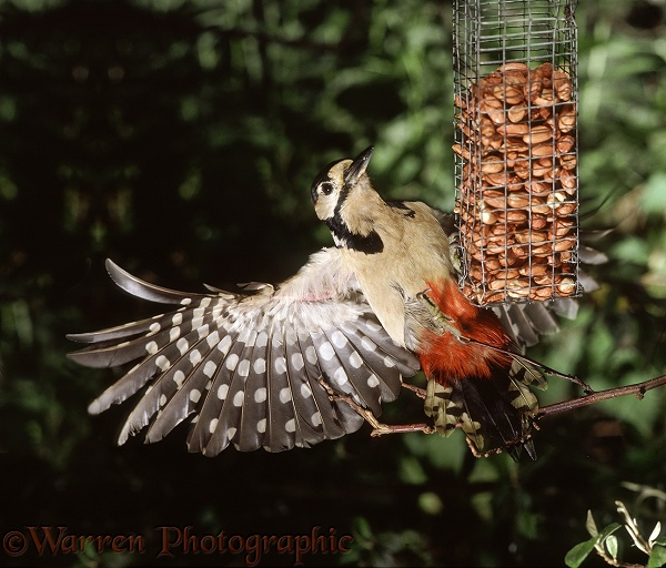 Great Spotted Woodpecker (Dendrocopos major) alighting on a peanut feeder.  Europe, Asia