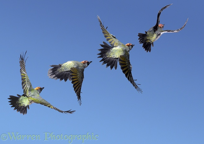 Green Woodpecker (Picus viridis) male flight sequence.  Europe & Asia