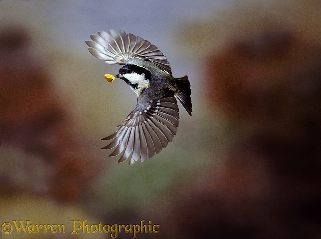 Coal Tit (Parus ater) flying with beech mast.  Europe & Asia