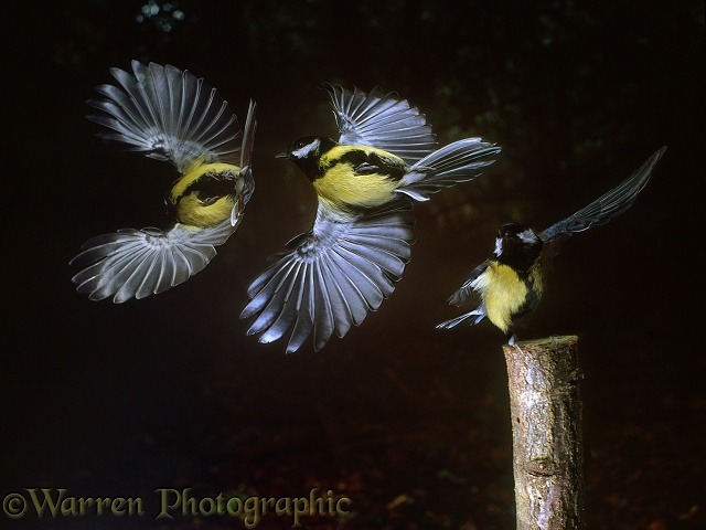 Great Tit (Parus major) taking off. Triple exposure at 60 millisecond intervals giving total exposure time of around 1/8 second.  Europe & Asia