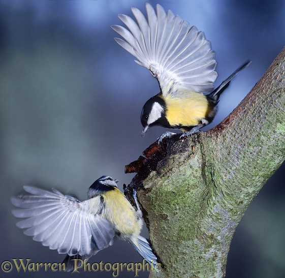 Great Tit (Parus major) and Blue Tit (Parus caeruleus) arguing over a tree hole.  Europe & Asia