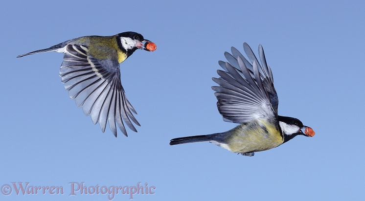 Great Tits (Parus major) in flight with peanuts.  Europe & Asia