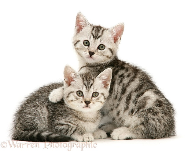 Two silver shorthair kittens snuggled together, white background