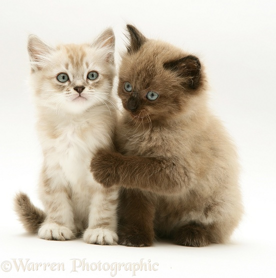 Birman-cross kittens sitting together