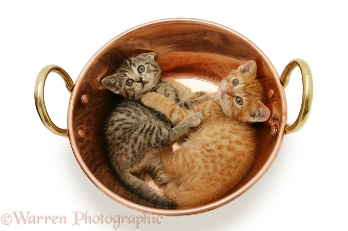 Two kittens playing in a copper pan, white background