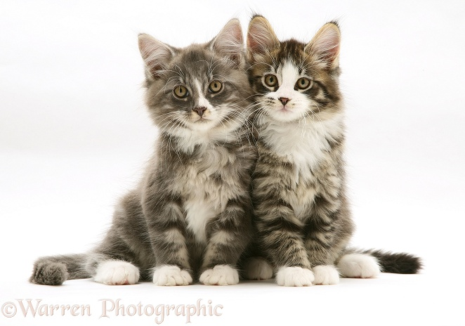 Tabby-and-white Maine Coon kittens, 8 weeks old, sitting together, white background