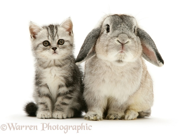 Silver tabby kitten with silver agouti Lop rabbit, white background