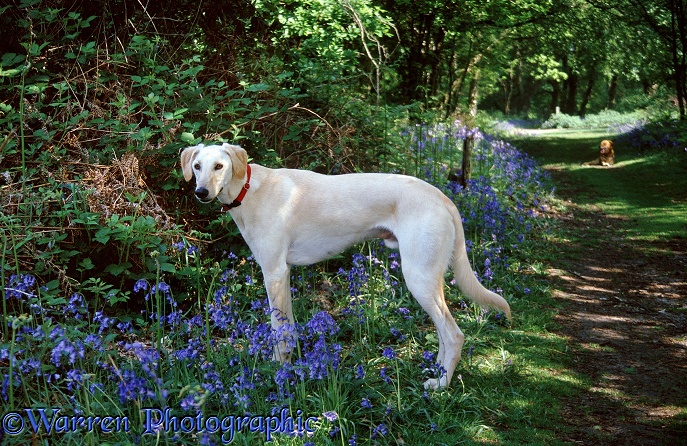 Gold Saluki Lurcher Swift among bluebells