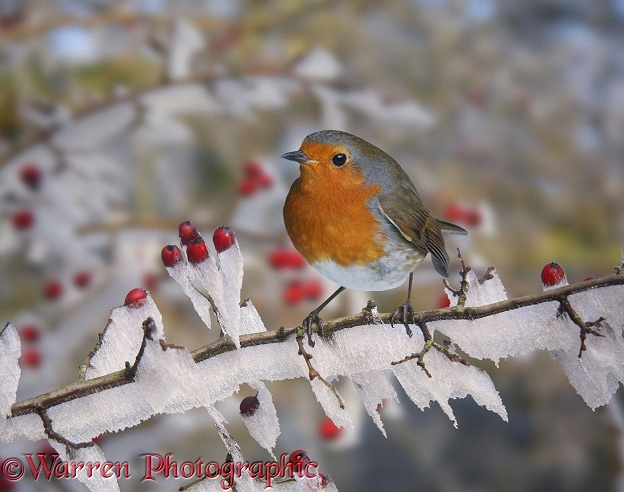 European Robin (Erithacus rubecula) on rime-covered Hawthorn (Crataegus monogyna).  Europe & Asia