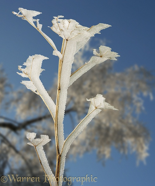 Rime growing on the leaward side of a Hogweed deadhead.  Surrey, England