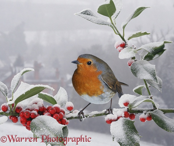 European Robin (Erithacus rubecula) on snowy Holly berries