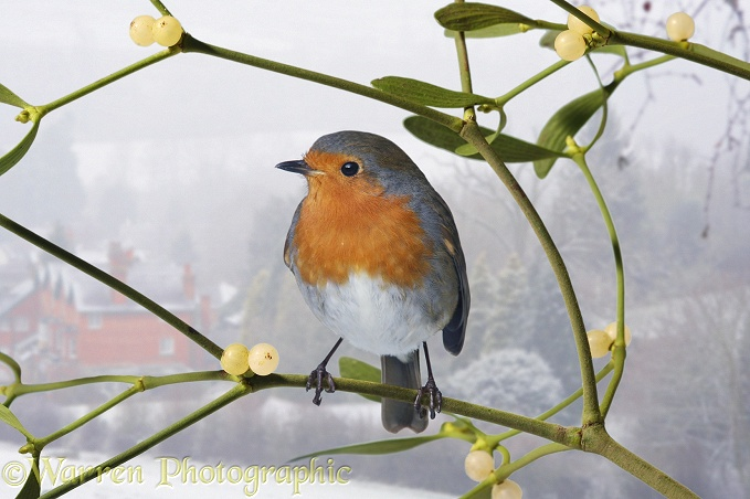 European Robin (Erithacus rubecula) on Mistletoe