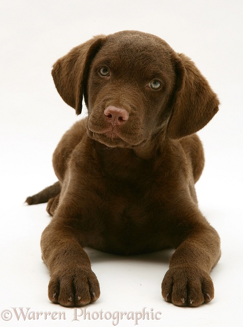 Chesapeake Bay Retriever dog pup, Teague, lying with his head up, white background