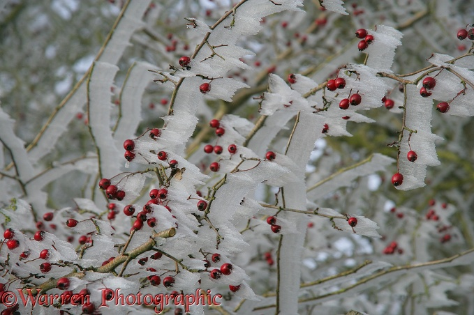 Rime growing on the leaward side of Hawthorn berries.  Surrey, England