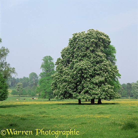 Horse Chestnuts in Spring.  Surrey, England