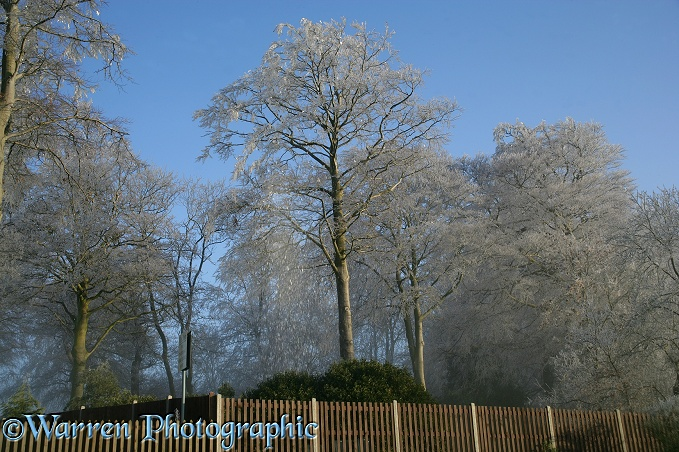 Rime on beech trees
