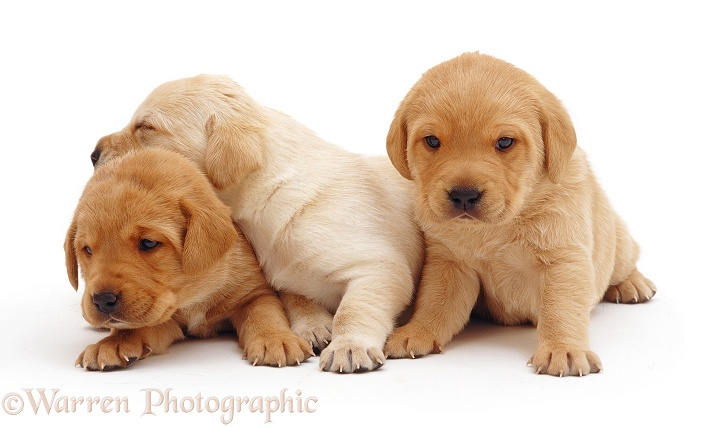 Trio of Labrador pups, white background