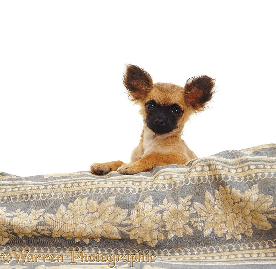 Long-coated Chihuahua bitch, white background