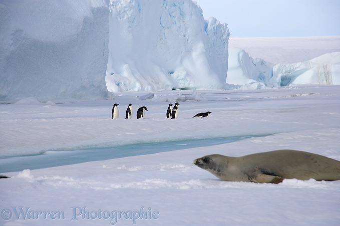 Crab-eater Seal (Lobodon carcinophagus) and Adelie Penguins (Pygoscelis adeliae)
