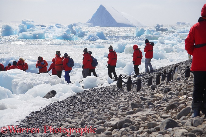 Adelie Penguins waiting for tourists to pass