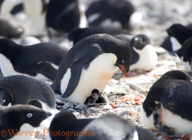 Adelie Penguin (Pygoscelis adeliae) with chick in the nest.  Antarctica
