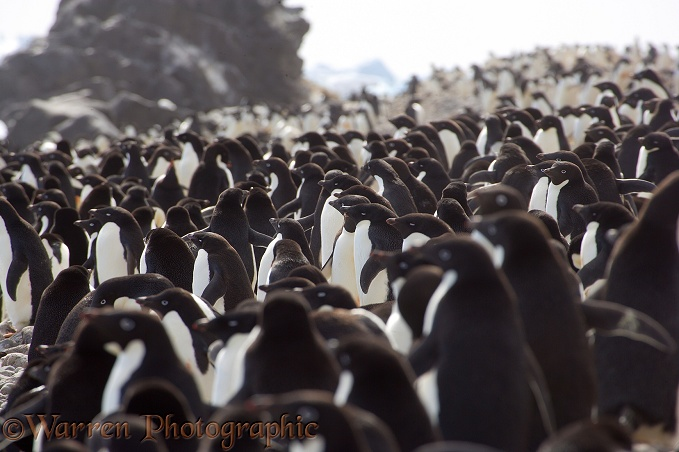 Adelie Penguins (Pygoscelis adeliae) amassing on the beach for a fishing trip.  Paulet Island, Antarctica