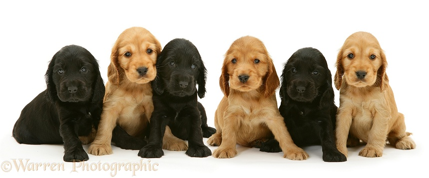 Black and Golden Cocker Spaniel pups, white background