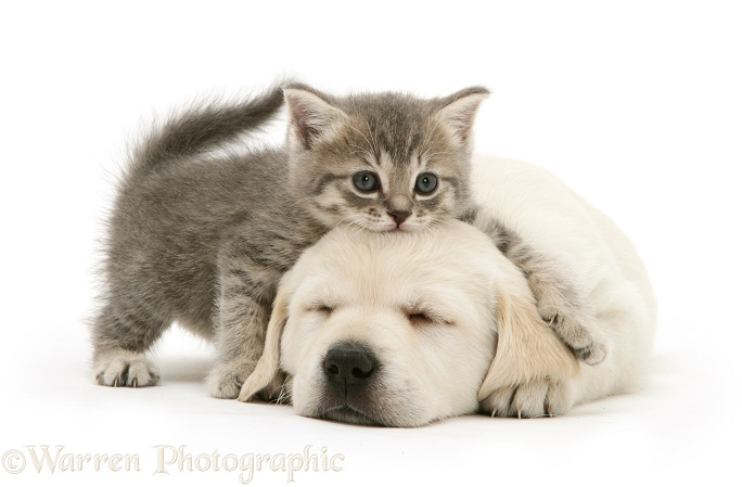 Sleeping Yellow Goldador Retriever pup with blue tabby kitten, white background